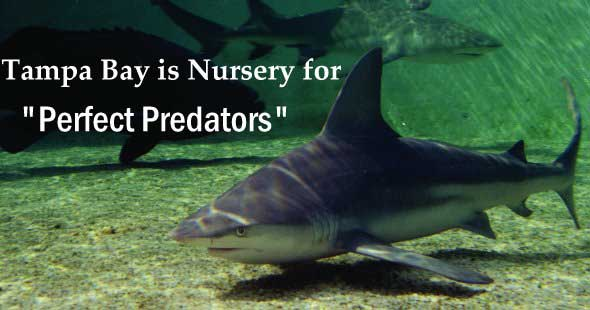 Tampa Bay is Nursery for Perfect Predators