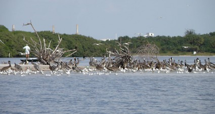 Pelicans gather on barrier islands off the Alafia River, one of the most important nesting grounds in the nation.