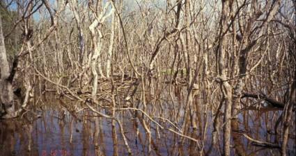 dead-mangroves-1