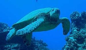 sea_turtle-usgs