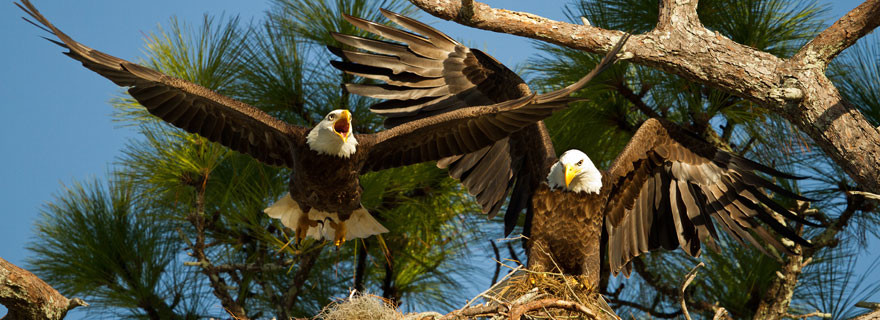 Two-Eagles-at-Nest-photo-by-Judy-Rogero
