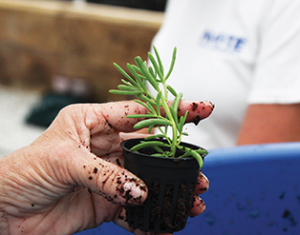 Photo courtesy of Mote Marine Laboratory Saltwort plant ready to be added to a raft in the greenhouse.