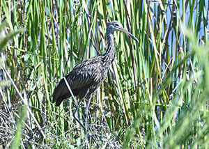 Photo by Nanette O'Hara. A limpkin stalks prey at Colt Creek State Park.