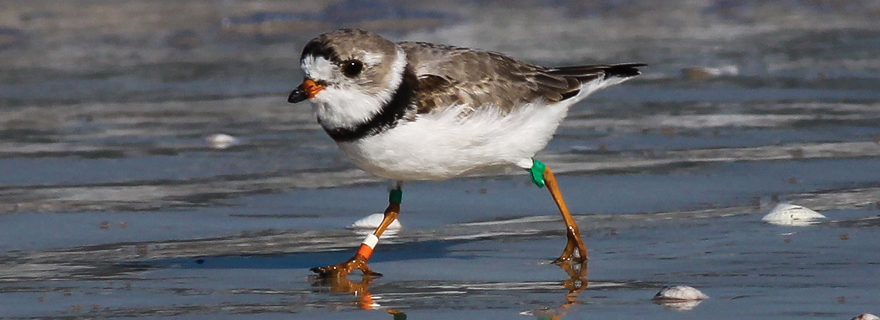 piping plover feature