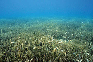 seagrass-image