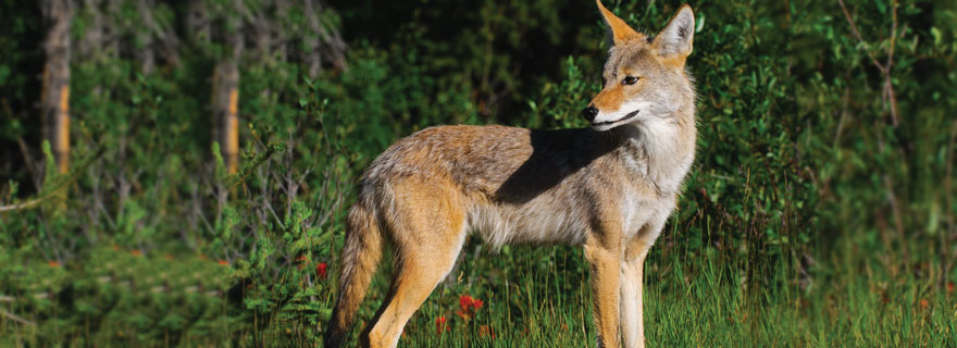coyote evolve in Florida even in Urban Settings