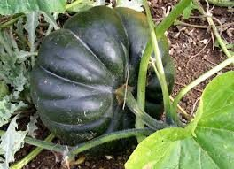 seminole pumpkin